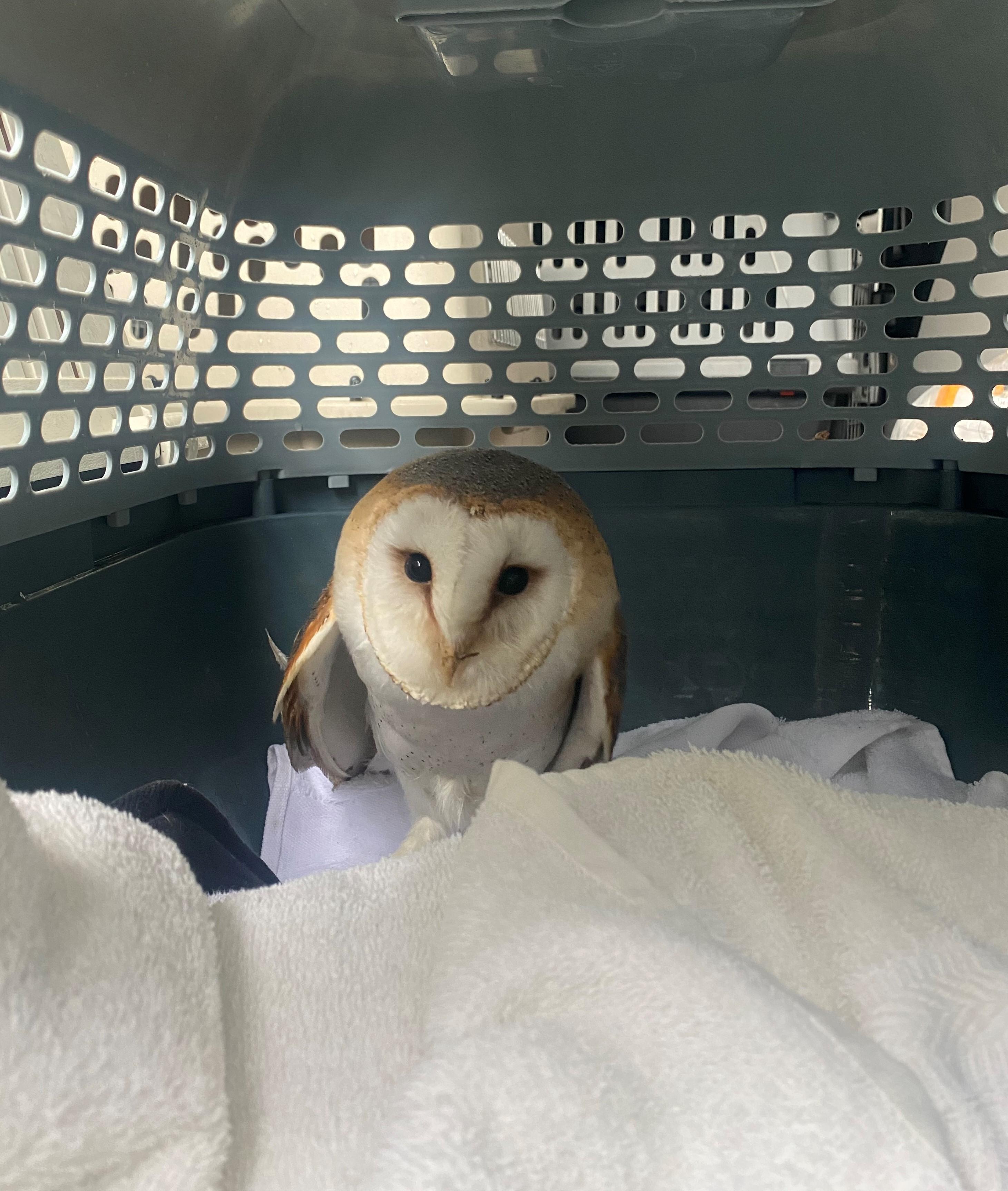 Barn owl & chicken rescue by Animal Rescue Warrington Animal Welfare