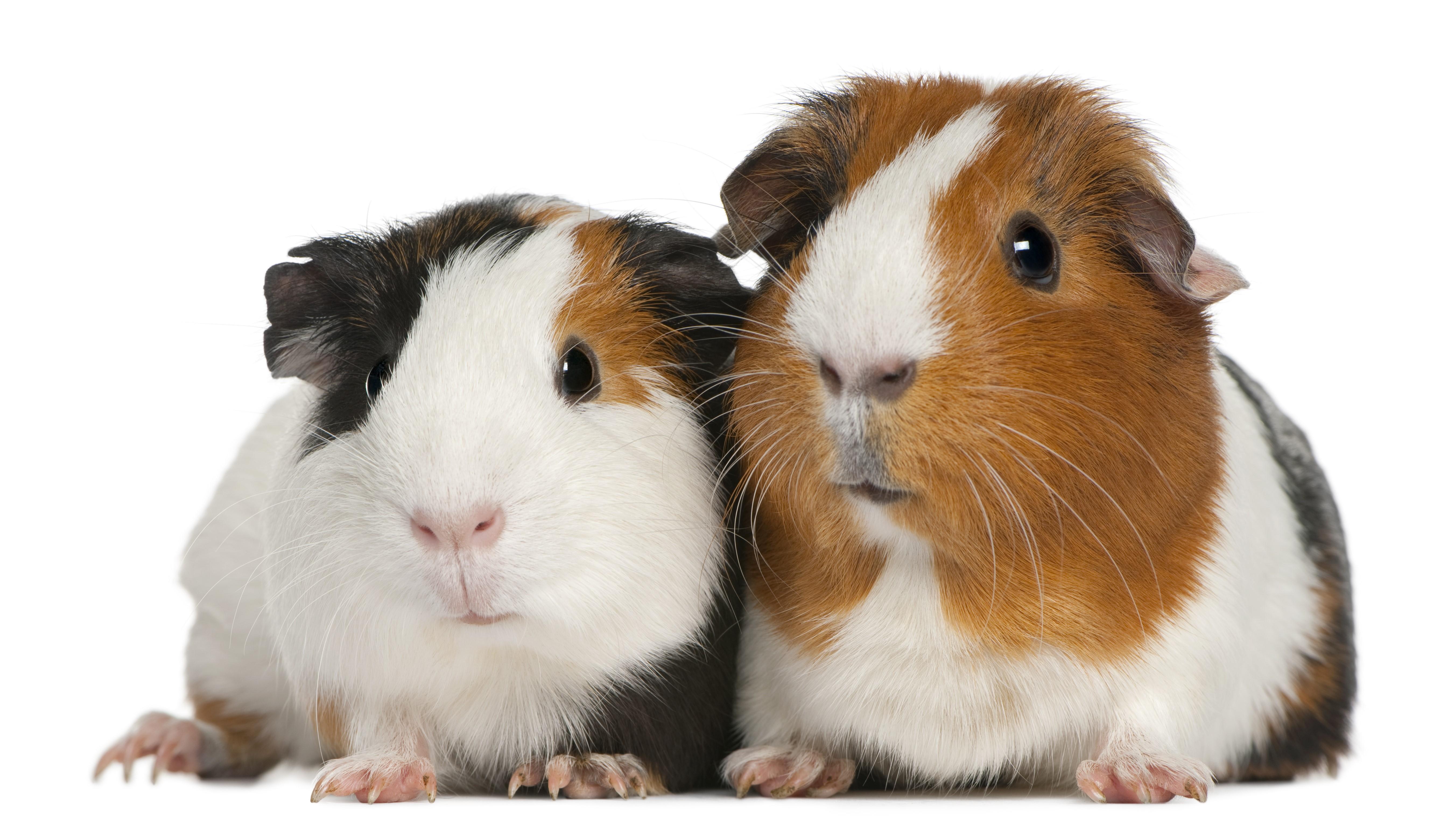 Suitabel Guinea Pig housing for animal welfare