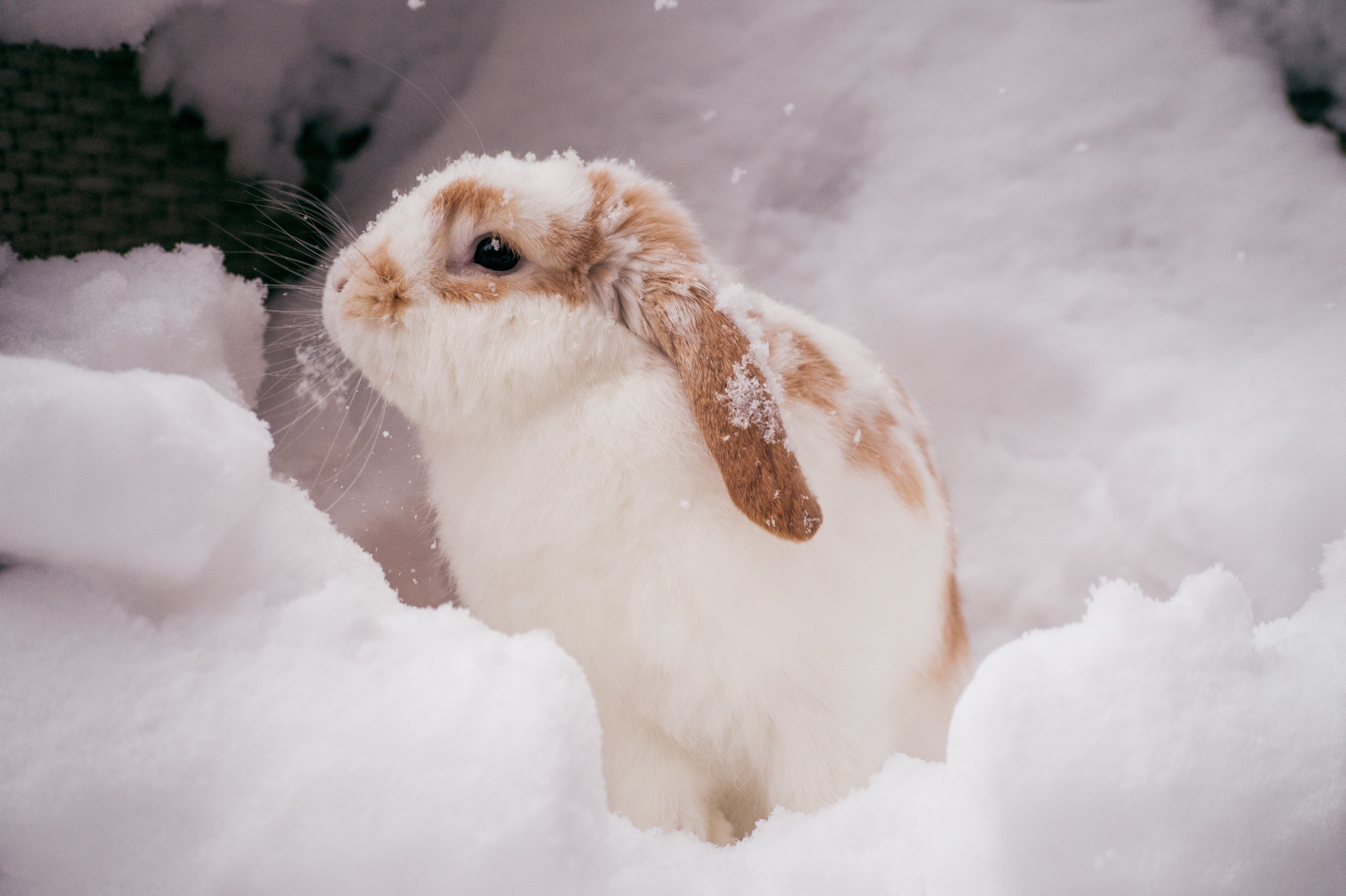 Seasonal pet care for Rabbits and Guinea Pigs