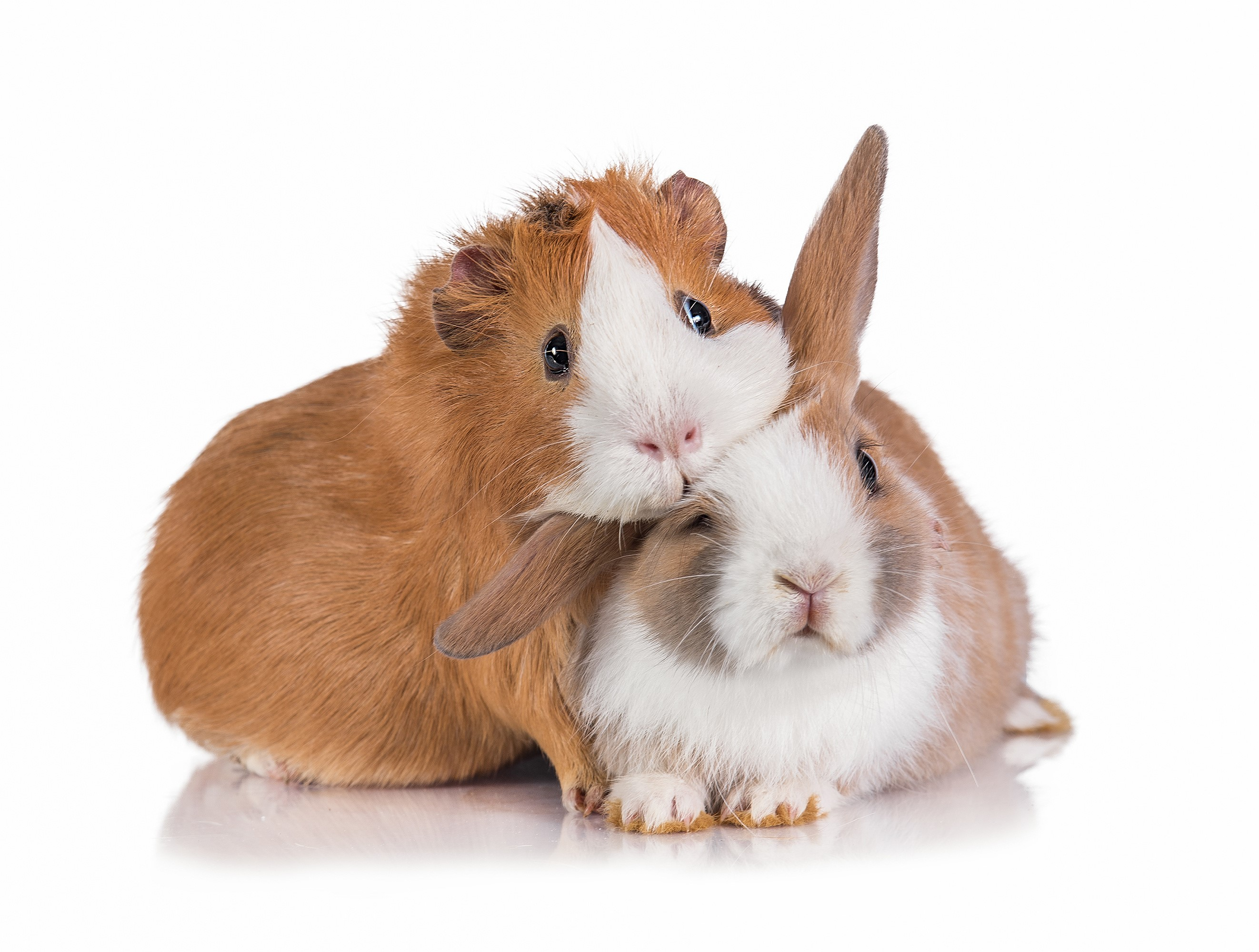 Foster rabbits and guinea pigs for Warrington Animal Welfare