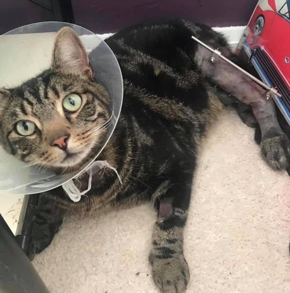 tabby cat with his leg splinted and wearing a cone