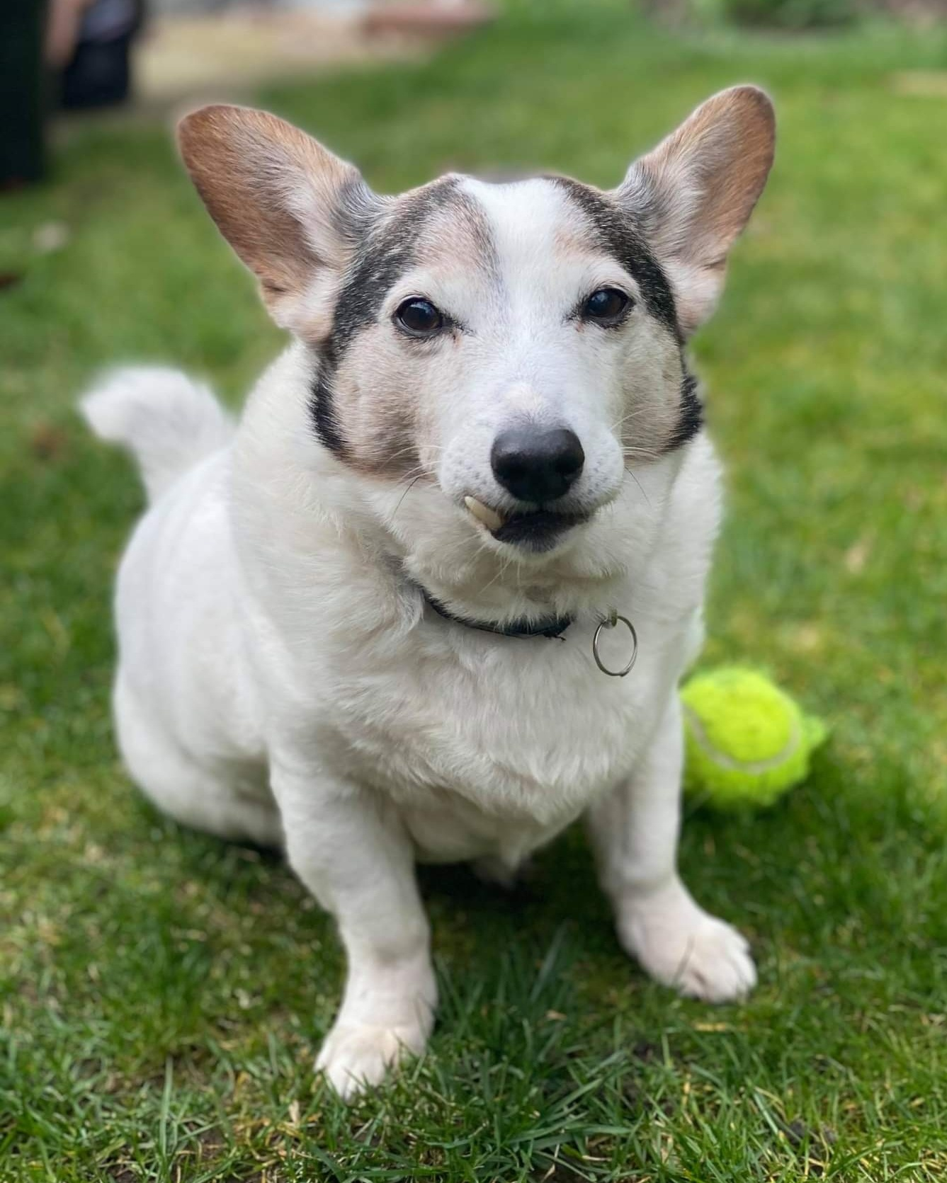 Old Jack Russell Terrier looking at the camera with his ball