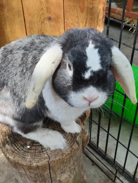 Bobby a 2 year old Lop breed male rabbit animal welfare