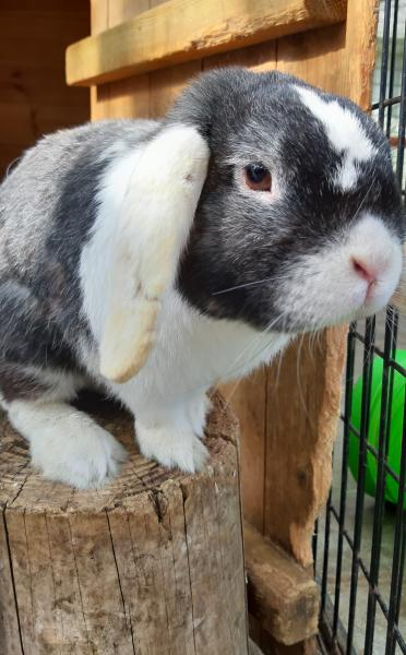 adopt Bobby a 2 year old Lop breed male rabbit