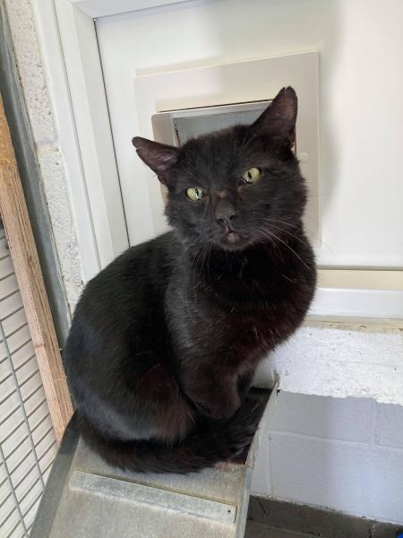 Elliot a 2 year old domestic short haired cat for adoption