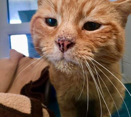 Adopt Garfield a cat from Warrington Animal Welfare