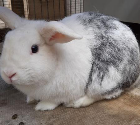 adopt Kobie a 2 year old Lop breed of rabbit Warrington Animal Welfare
