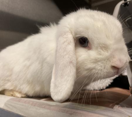 adopt Iris female 7 months old Mini Lop Eared Dwarf rabbit