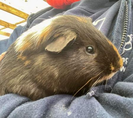 Adopt Bono the guinea pig at Warrington Animal Welfare