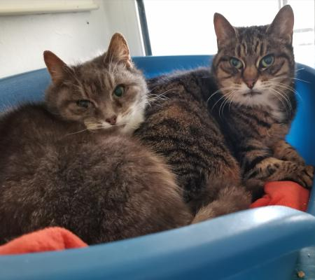 Adopt cats Nutmeg & Cinder from Warrington Animal Welfare