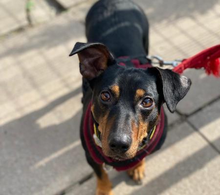 Adopt Debo a cross breed dog from Warrington Animal Welfare