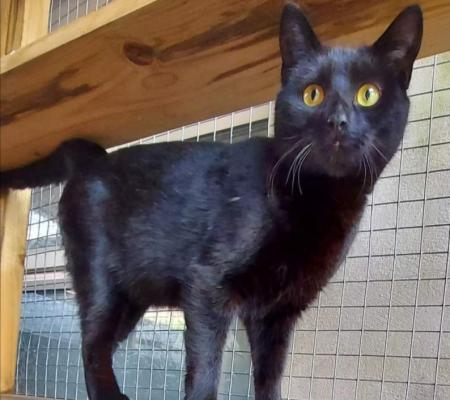 Michelle the cat available for adoption at Warrington Animal Welfare