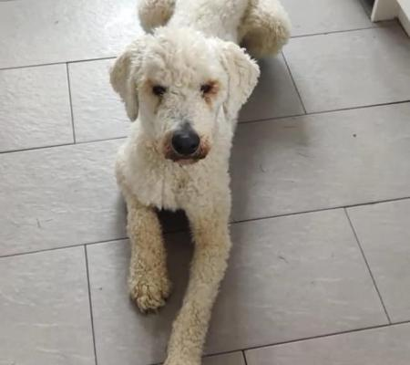 Adopt Jeges the Komondor dog from Warrington Animal Rescue